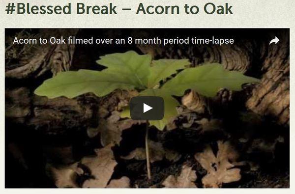 Blessed Break Acorn to Oak