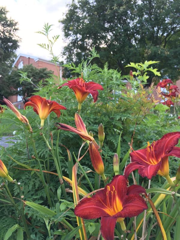 Lilies in the church yard